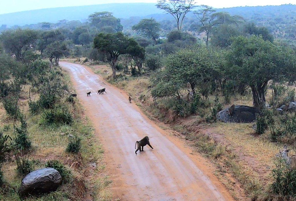 Paviane bilden Trupps von bis zu 150 Tieren. Ausgewachsene Männchen bis hin zu Kleinkindern müssen sich auf der Suche nach Nahrung und anderen Ressour