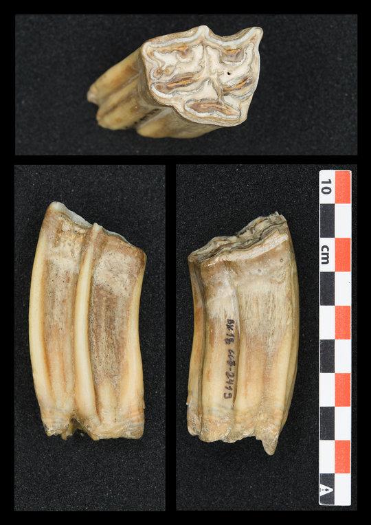 Hochkronige Pferdezähne – wie dieser, der aus den unteren Schichten der Höhlenstratigraphie der Bacho-Kiro-Höhle geborgen wurde – wurden auf die Sauer