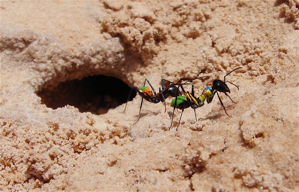 Ants employ odors for orientation
