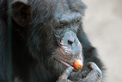 At best, apes, like this chimpanzee, would puzzle at communicative gestures such as pointing.