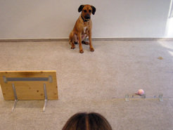 "This study showed that dogs understand the perspective of humans. In most cases, they brought the toy that lay behind the glass barrier. They obviously knew that their test partner could see only that toy, and that the ""bring"" command could relate only to it."