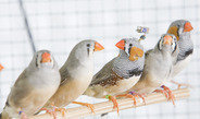 Scientists from the Max Planck Institute for Ornithology in Seewiesen measure the electrical signals employed by the neurons of the brain to control s