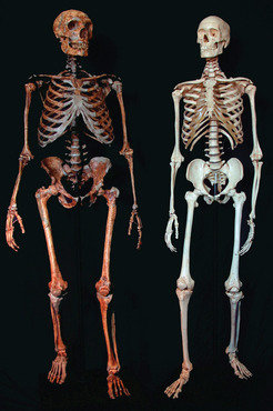 Skeletons of a Neandertal (left) and a human.