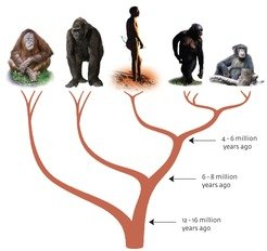 <b>Fig. 1 | Tree of humans and apes.</b>