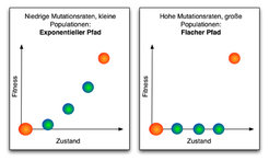Für niedrige Mutationsraten und kleine Populationen schreitet die Evolution am schnellsten voran, wenn die Fitness exponentiell ansteigt (links). Sind
