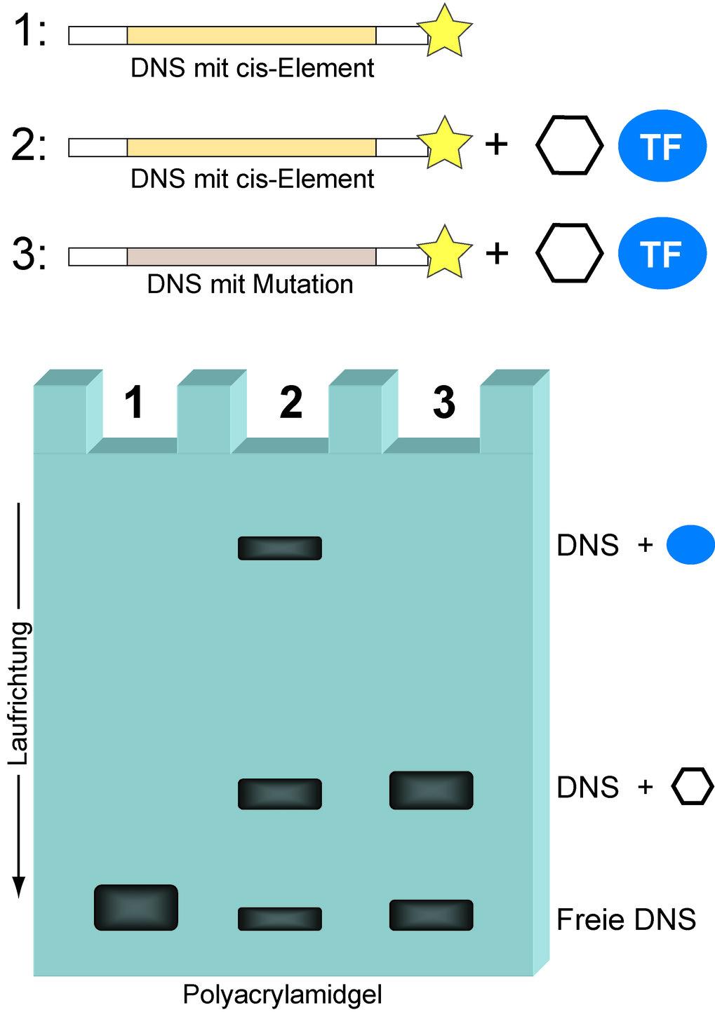 Der Gelretardations-Assay (engl. <i>EMSA</i>, siehe Text) zeigt das Vorhandensein eines Transkriptionsfaktors (TF) auf, der einen gegebenen regulatori