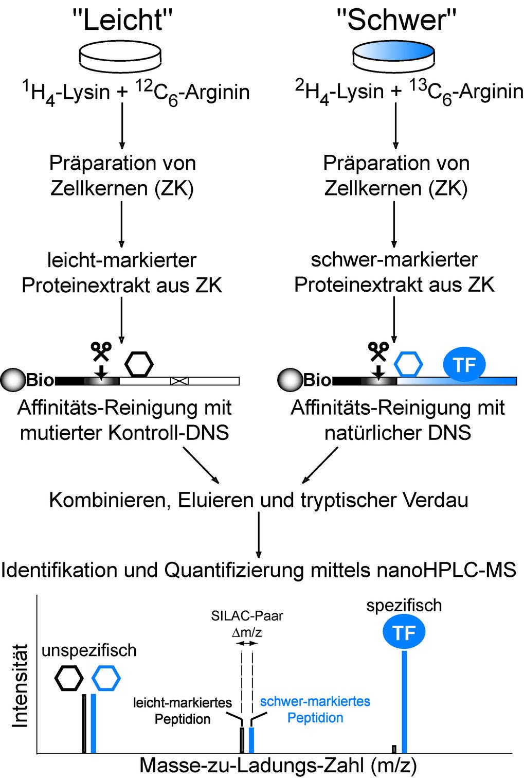 Der SILAC DNS-Proteininteraktions-Screen kombiniert den Nachweis der Sequenzspezifität eines Transkriptionsfaktors mit der Aufklärung seiner molekular