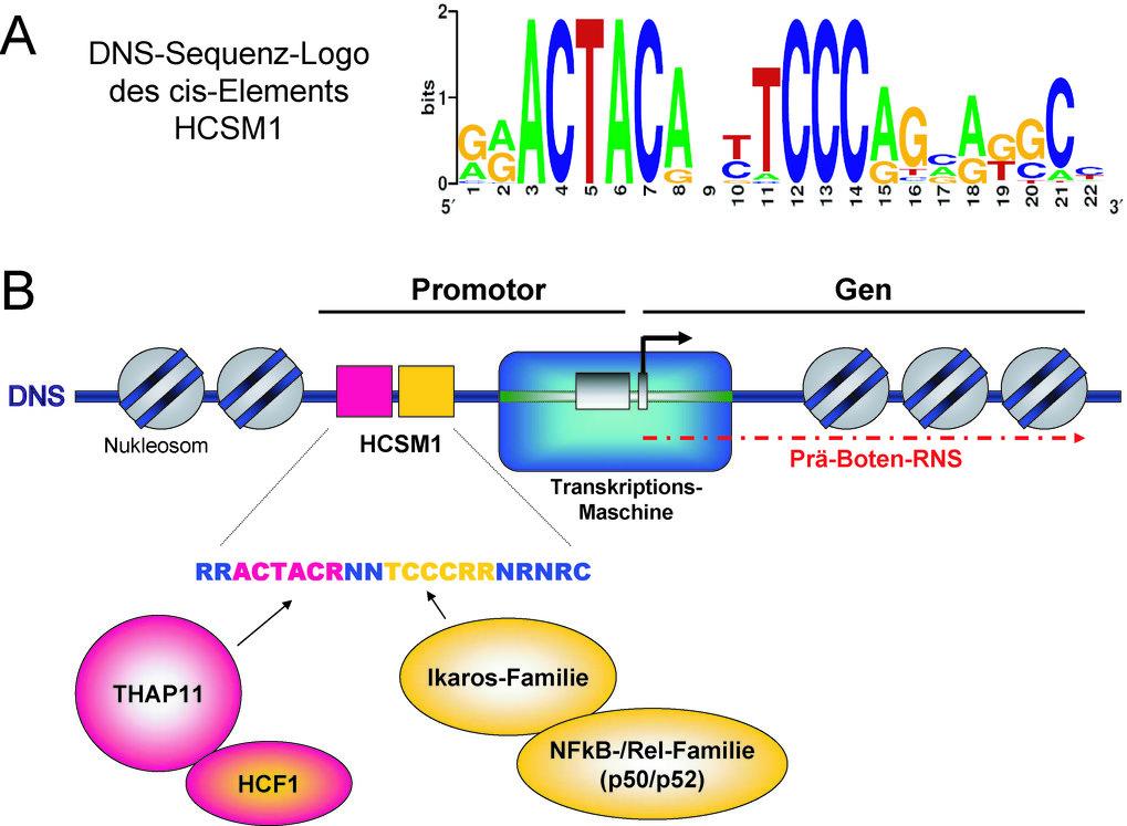 Die DNS-Sequenz des HCSM1 cis-Elements wird <i>in vivo</i> durch mehrere Transkriptionsfaktoren ausgelesen. (<b>A</b>) Durch Sequenzvergleich der HCSM