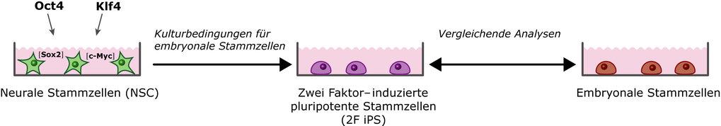 In neuralen Stammzellen sind die Gene für Sox2 und c-Myc aktiviert, sodass die Induktion durch Oct4 und Klf4 ausreicht, um die Zellen in ein embryonal