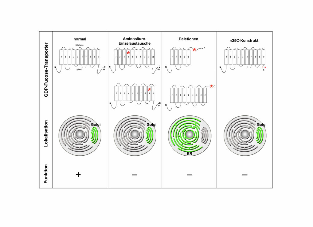 Verschiedene Mutationstypen des GDP-Fucose-Transporters in LAD-II-Patienten: Mutationen im GDP-Fucose-Transporter verursachen den Ausfall der Biosynth