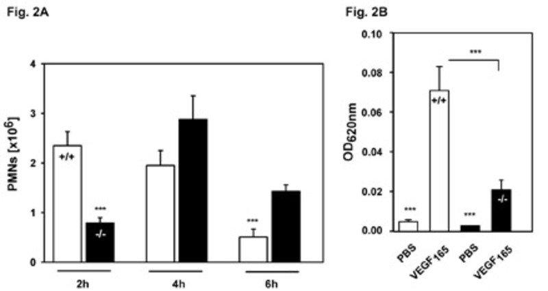 Defekte in der Extravasation von Leukozyten und in der Induktion vaskulärer Permeabilität in ESAM-defizienten Mäusen: A) In normalen Mäusen (+/+) und