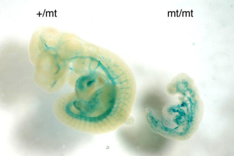 Defekte in der Ausbildung des Blutgefäßsystems in Embryonen von VE-PTP-defizienten Mäusen: Bei einem gesunden Embryo (links) und einem VE-PTP-defizien