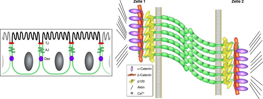 <b>Zelluläre Cadherin-Lokalisation am Beispiel von E-Cadherin</b> In einschichtigen Epithelien wie im Darmtrakt sammelt sich E-Cadherin an der basolat