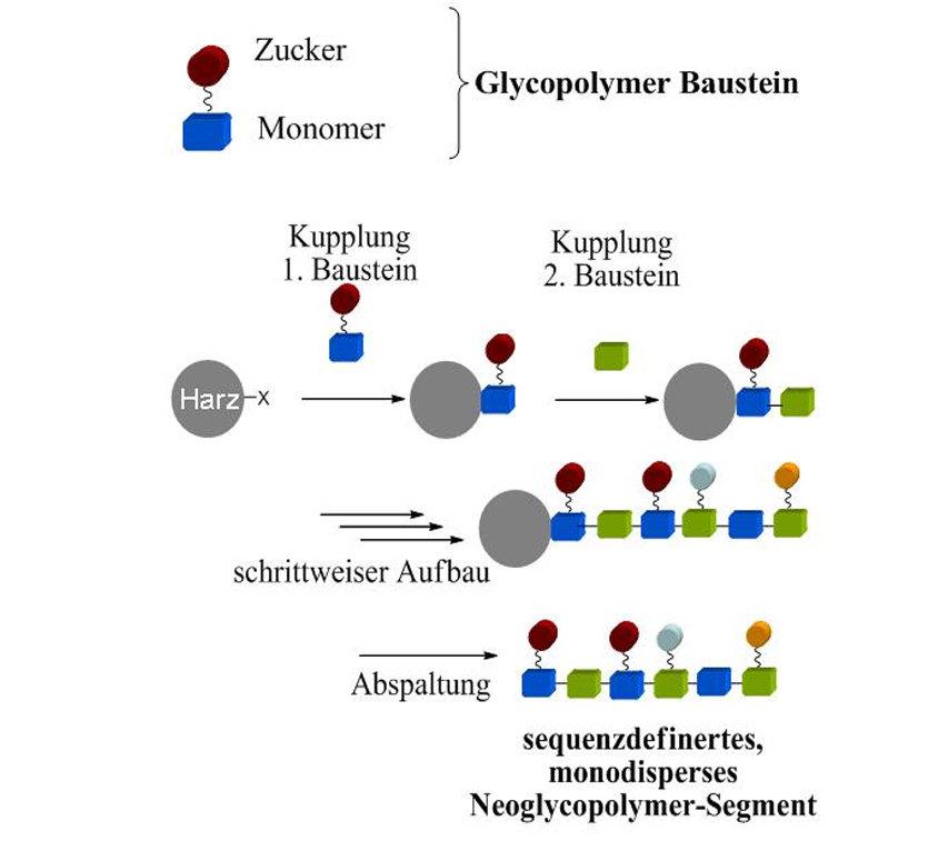 Schematische Darstellung der Festphasensynthese sequenzdefinierter, monodisperser Polymere und Neoglykopolymere [7].
