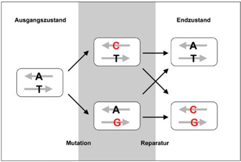 <b>Mutation und Reparatur der Doppelstrang-DNA.</b> Zunächst wird eine Base auf einem der beiden DNA-Stränge ausgetauscht (Mutation); diese Fehlstelle