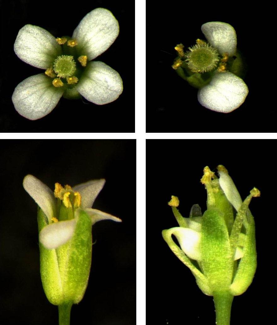 Die Petalenanzahl und Petalenentwicklung von roxy1 (rechts) ist im Vergleich zur Arabidopsis Wildtyp-Blüte (links) verändert.