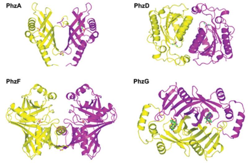 Röntgenkristallografisch ermittelte Strukturen der Enzyme PhzA, PhzD, PhzF und PhzG; dargestellt in sog. Bänderform.