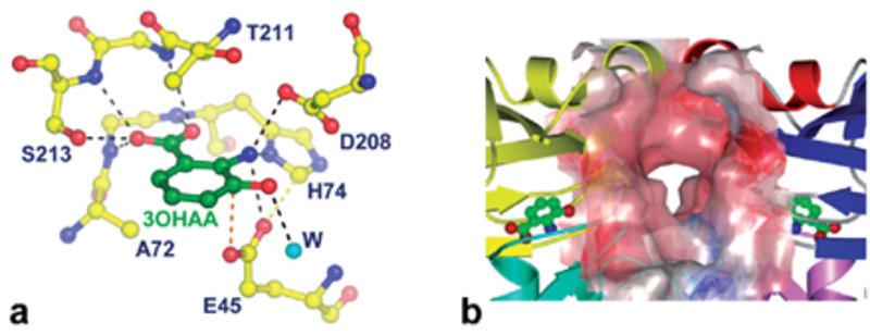 Reaktionszentren im PhzF-Enzym: a) Das aktive Zentrum von PhzF im Komplex mit dem Substratanalogon 3-Hydroxyanthranilsäure (3OHAA). Diese Struktur zei