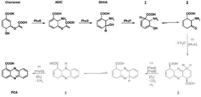 Momentaner Kenntnisstand der Biosynthese von Phenazin-1-Carboxylsäure: Strukturell nicht näher bestimmte Intermediate bzw. nicht näher charakterisiert