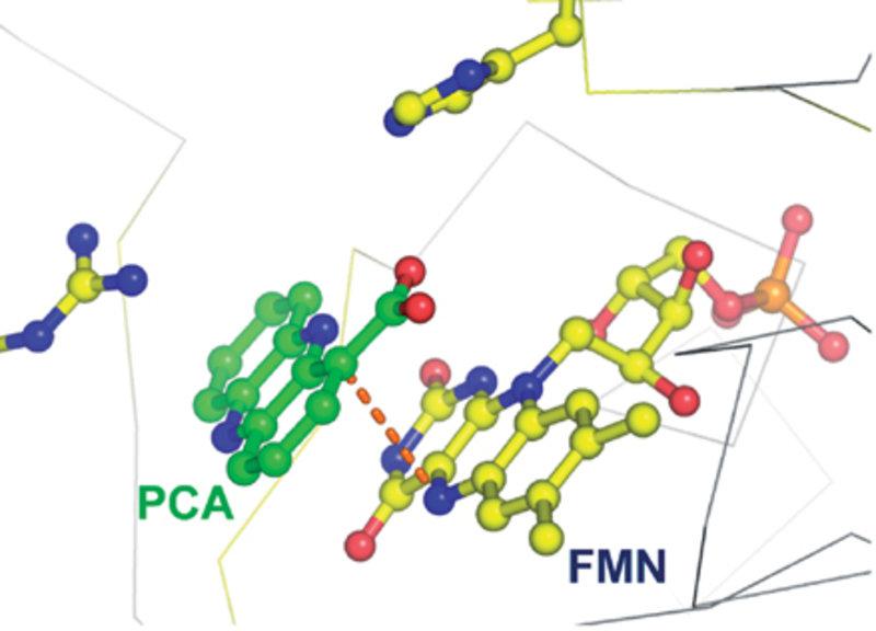 Das aktive Zentrum von PhzG im Komplex mit dem Endprodukt des Biosynthesewegs, Phenazin-1-carboxylsäure (PCA).