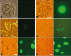 Oct4-GFP-Expression in Nervenzellen (Neurosphere Cells; NSC) und Kumuluszellen (CC) vor und nach Fusion mit embryonalen Stammzellen (ES). NSC (A) expr