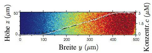 Lineares Konzentrationsprofil im Hauptkanal der in Abbildung 1 gezeigten Gradientenkammer. Die Farbkodierung zeigt die mittels Zwei-Photonen-Mikroskop