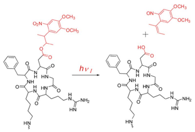 Geschütztes zellbindendes Peptid: Die photolabile Gruppe 3-(4,5-dimethoxy-2-nitrophenyl)-2-butylester wurde an der Asparaginsäure des cyclo(RGDfK), ei