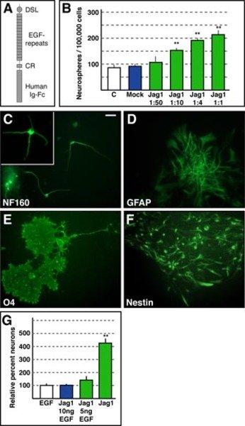 Jagged1 kann in Abwesenheit von Wachstumsfaktoren das Selbsterhaltungspotenzial kultivierter neuronaler Stammzellen erhalten und ihr neurogenes Potenz