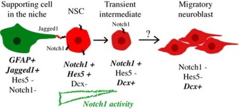 Schematische Darstellung der von Notch1 regulierten postnatalen Neurogenese in der Subventrikularzone. GFAP-positive Gliazellen präsentieren selbstern