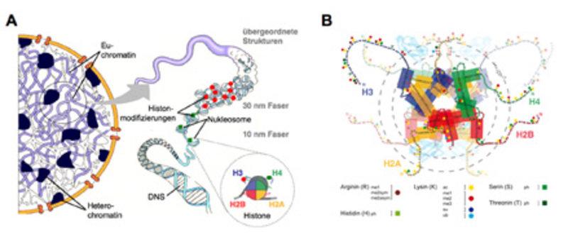 Chromatinstruktur und post-translationale Histonmodifizierungen. <b>(A)</b> Hierarchischer Aufbau des Chromatins in einer eukaryontischen Zelle (Inter