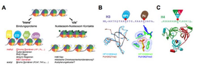 Molekulare Wirkmechanismen der Histonmodifizierungen. <b>(A)</b> Histonmodifizierungen wirken entweder direkt (cis) durch Beeinflussung der Faltung un