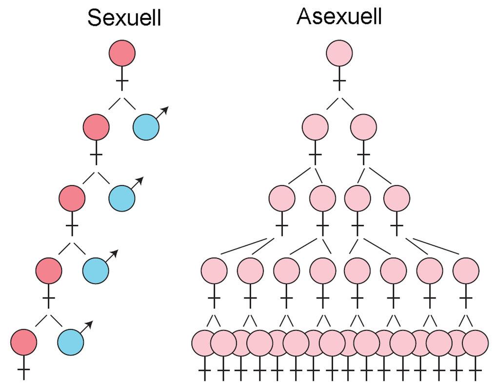 Quantitativer Unterschied zwischen sexueller und asexueller Fortpflanzung.