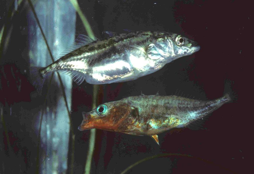 Dreistachliger Stichling (Gasterosteus aculeatus), laichbereites Weibchen und Männchen in Balzfärbung.