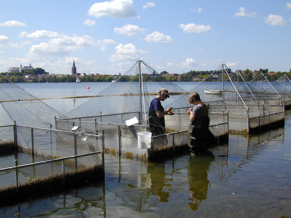 Freilandlabor im Großen Plöner See: In sechs Käfigen im flachen Uferbereich, inmitten eines natürlichen Stichlingsbrutreviers, können sich die Versuch