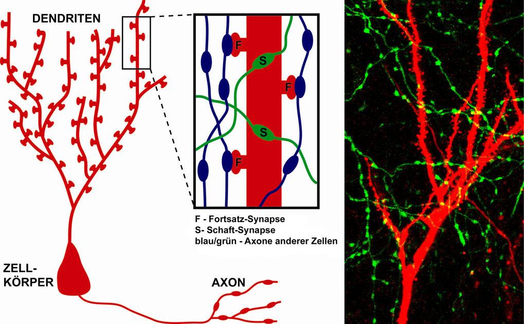 Informationen werden von einer Nervenzelle zur nächsten über Synapsen weitergegeben. Es gibt hemmende und informationsfördernde Synapsen, die sich in