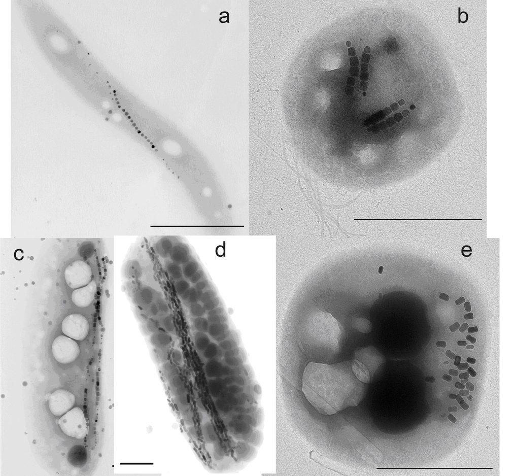 Bilder, die unterschiedliche Morphologien von magnetotaktischen Bakterien zeigen (Transmissionselektronenmikroskop).