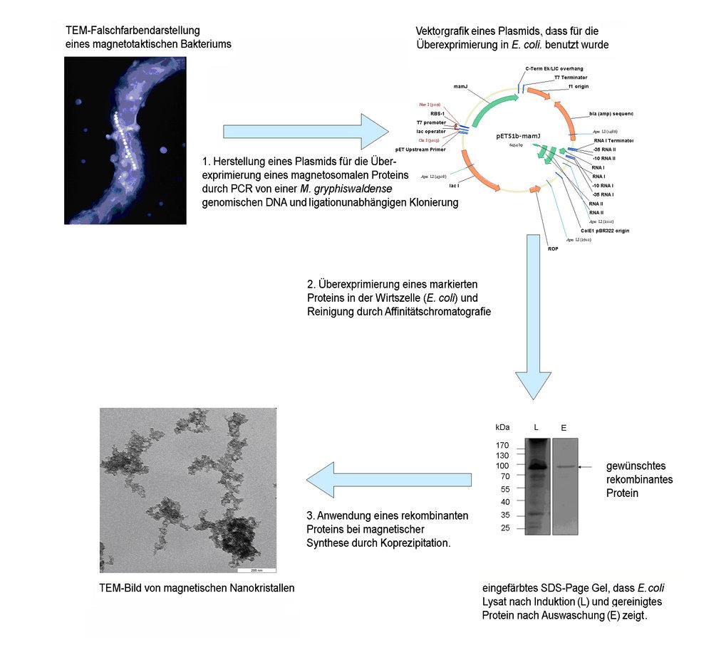 Schematische Darstellung des Verfahrens, bei der die Proteine überexprimiert und gereinigt werden, bevor sie für die Synthese genutzt werden können.
