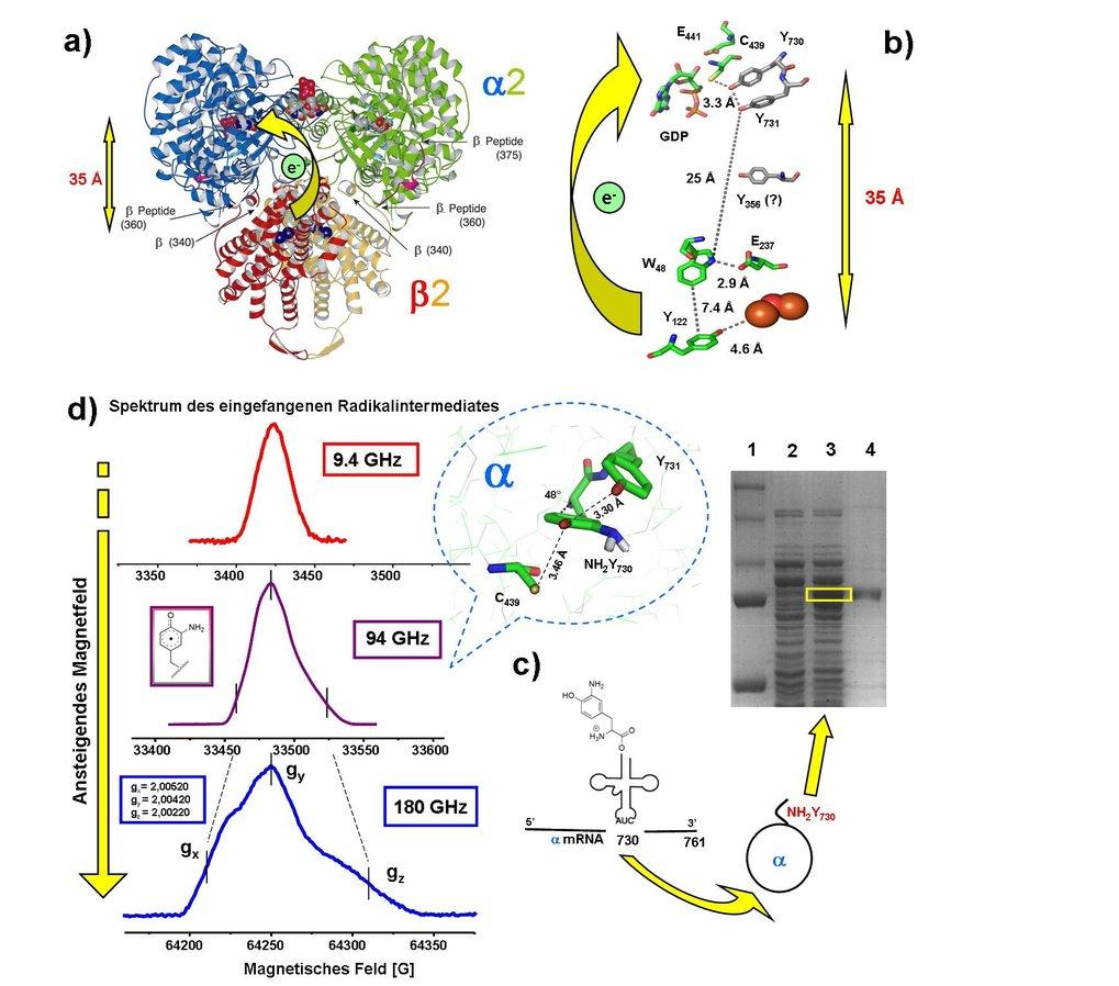 a) Docking-Modell der E. coli-Ribonukleotid-Reduktase (RNR) aus den individuellen Kristallstrukturen α2 und β2. b) Vorgeschlagener Pfad des Protonen-g