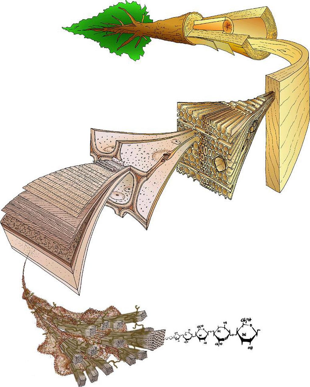 Schematische Darstellung des hierarchischen Aufbaus der Nadelbäume.