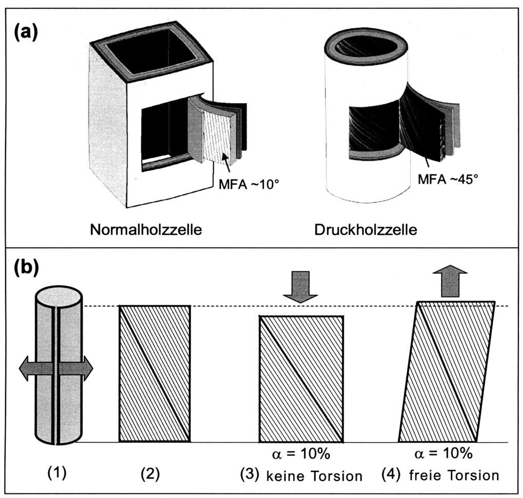 (a) Schematische Darstellung einer einzelnen Normalholzzelle mit einen Mikrofibrillenwinkel von ~10° und einer Druckholzzelle mit einen Mikrofibrillen