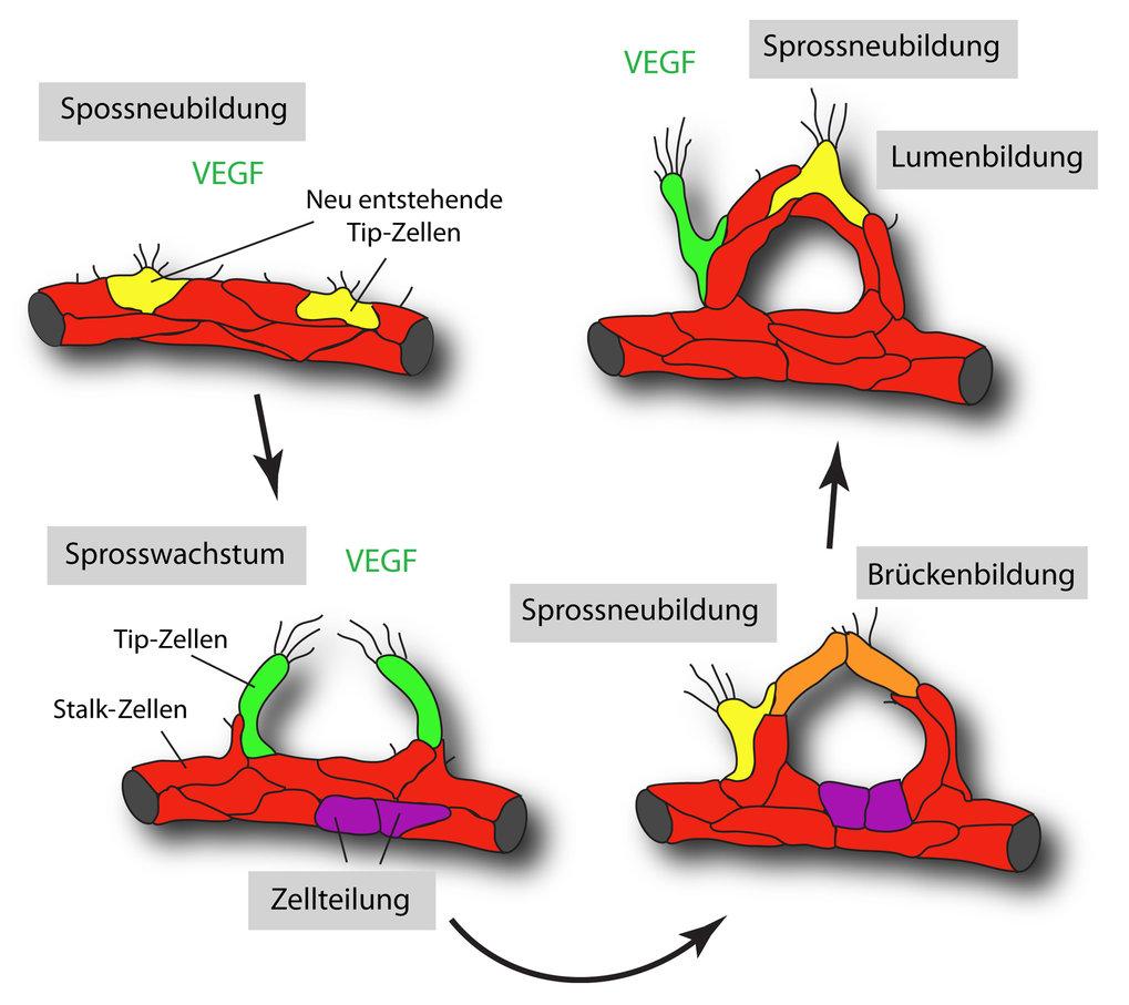 Endotheliale Sprossung und Auswachsen eines Blutgefäßes. Endothelzellen leiten als Reaktion auf den Wachstumsfaktor VEGF die Bildung neuer Gefäßspross