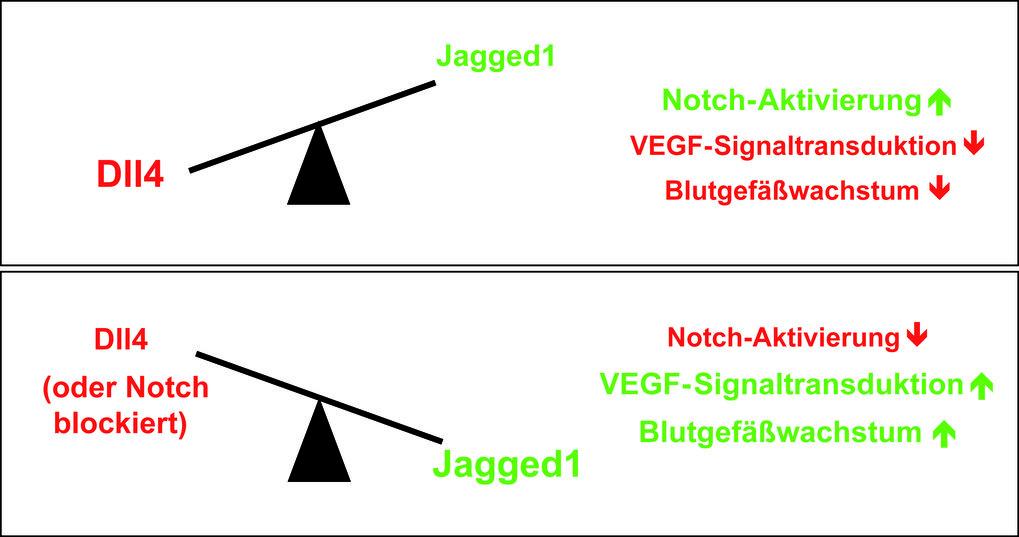 Der molekulare Schalter für Gefäßwachstum. Zucker-Modifikationen an Notch und die Balance zwischen Dll4 und Jagged1 bestimmen, wie stark Endothelzelle