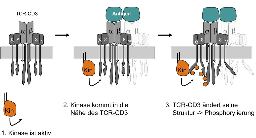 <b>Konformationsänderung des TCR-CD3-Komplexes</b> In ruhendem Zustand ist der TCR-CD3 in geschlossener Konformation (links). Nach Antigenbindung wird