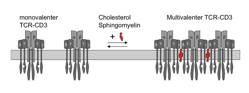 <b>Multimerisierung des TCR-CD3</b> Monovalenter und multivalenter Rezeptor stehen auf der Zelloberfläche im Gleichgewicht. Zur Bildung der multivalen