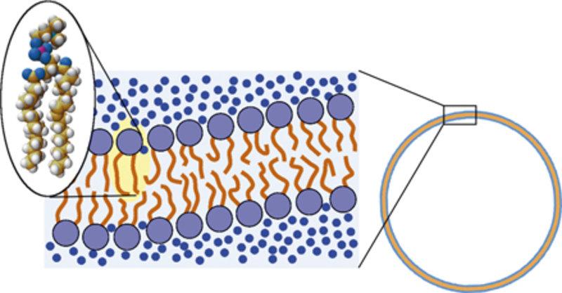 Lipidmembranen bestehen aus Doppelschichten von Lipidmolekülen, deren wasserlösliche Kopfgruppen die unlöslichen Kohlenwasserstoffketten vom umgebende