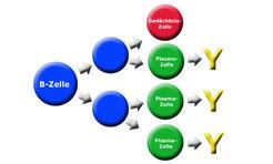 Erkennt eine B-Zelle eine Erreger-Zielstruktur, so teilt sie sich sehr schnell und bildet Plasmazellen. In kürzester Zeit steht eine Vielzahl an Antik