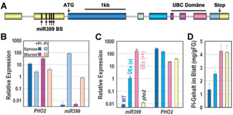 Regulation der Ubiquitin-Konjugase PHO2 durch mikroRNA399 1A Struktur des PHO2-Transkripts. Exons sind als Boxen dargestellt. Das nicht Protein-kodier