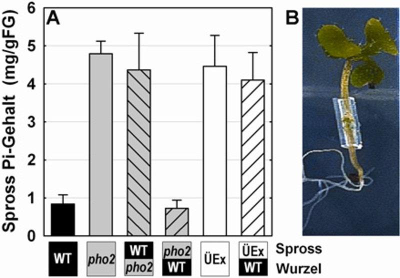 Pfropfungsexperimente mit Arabidopsis zur Untersuchung des Langstreckentransports von mikroRNA399 und der systemischen Regulation 2A Mittels Pfropfung