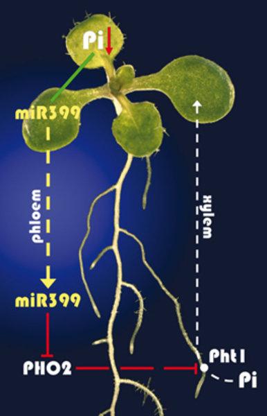 Regulationsmodell der pflanzlichen Phosphat-Homöostase Ein sinkender Phosphat (Pi)-Gehalt im Spross führt zu einer starken Expression der mikroRNA399