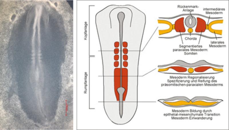 Mesodermbildung am Beispiel des Hühnchenembryos. Links: Aufnahme eines Hühnchenembryos; rechts: schematische Darstellung des frühen Embryos. Im hinter